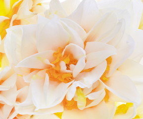beautiful  fresh narcissus  closeup,background  macro