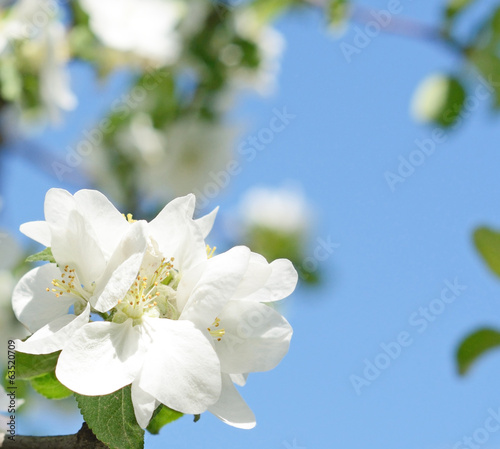 Beautiful apple blossoms against the sky on a sunny day in sprin