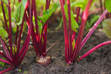 growing beetroot on the vegetable bed