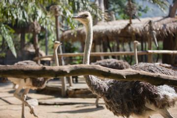 Ostrich in zoo.