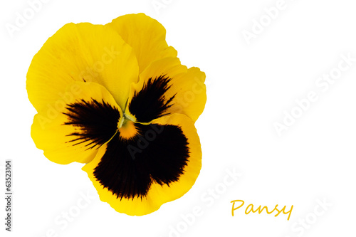 Yellow pansy flower isolated over white background
