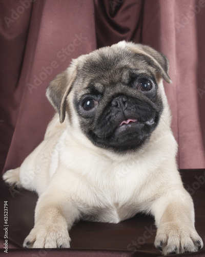 pug studio on a black background
