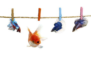 Betta and  Goldfish  hanging on the clothesline. Isolated