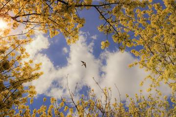 Cielo primaverile:rondine tra rami fioriti.