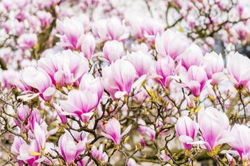 Magnolia flowers background horizontal