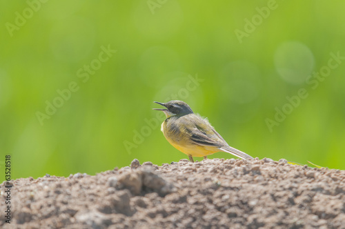 Yellow Wagtail series 02