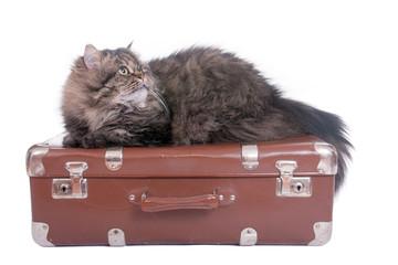 Persische Katze liegt auf dem Vintage Koffer