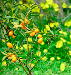 kumquat and flowers