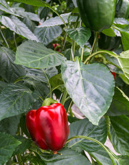Red pepper ripening on the plant