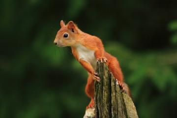 scoiattolo rosso mammiffero roditore