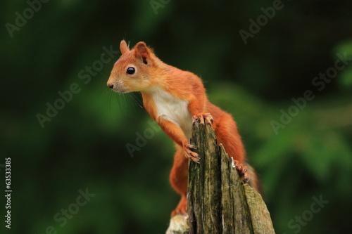 Plexiglas Eekhoorn scoiattolo rosso mammiffero roditore