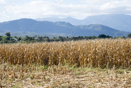 Maize at harvestime. South Africa