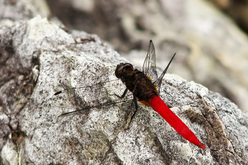 dragon fly resting on a rock