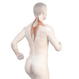 illustration showing the trapezius of a jogger poster