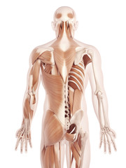 anatomy illustration showing the back muscles