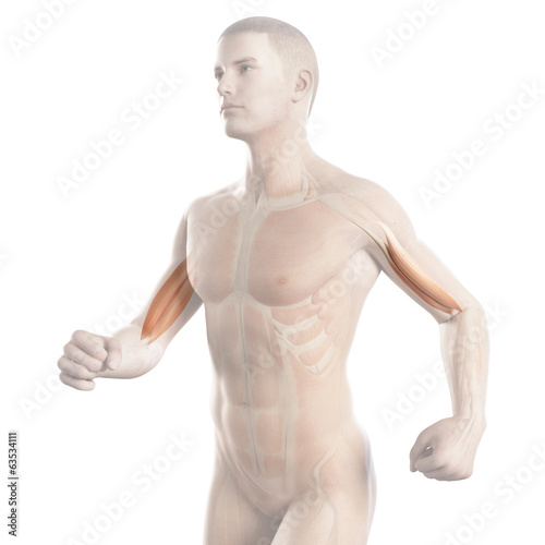 anatomy illustration showing the biceps muscle of a jogger
