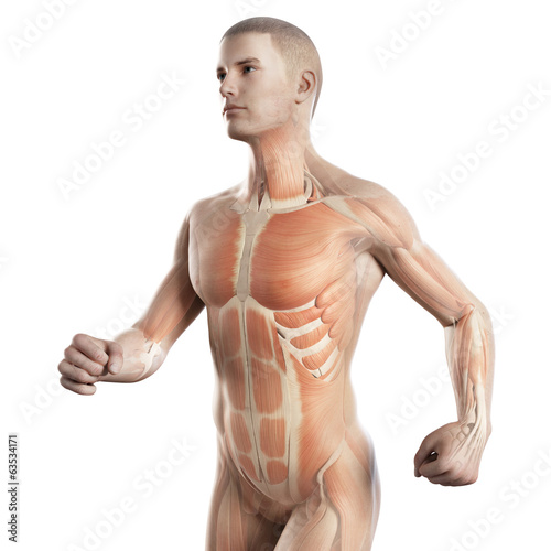 anatomy illustration showing the muscles of a jogger