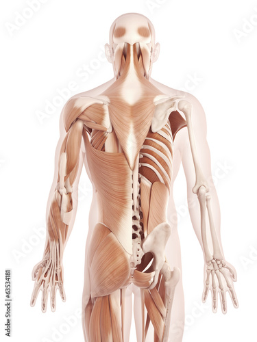 canvas print picture anatomy illustration showing the back muscles