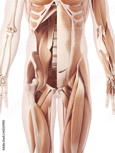 anatomy illustration showing the abdominal muscles
