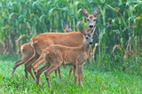 Roe deer with her cubs