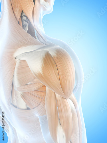 anatomy illustration showing the shoulder muscles