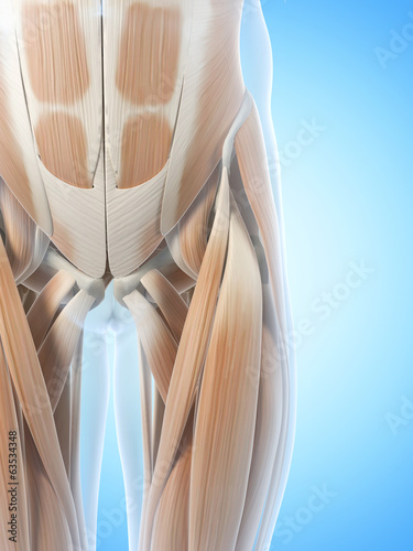 anatomy illustration showing the hip muscles