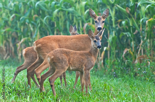 Papiers peints Roe Roe deer with her cubs