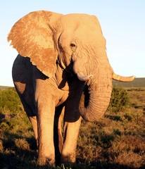Huge African Elephant Male