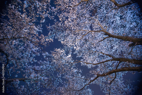 Fotobehang Kersen 夜桜