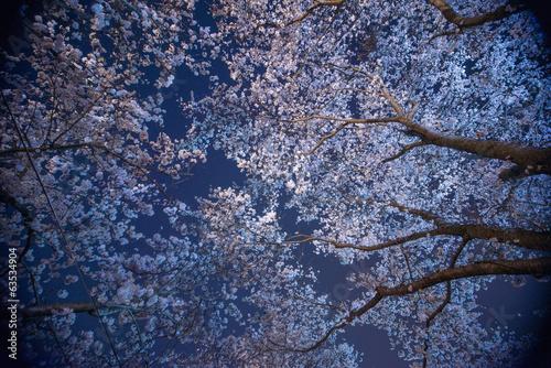 Keuken foto achterwand Kersen 夜桜