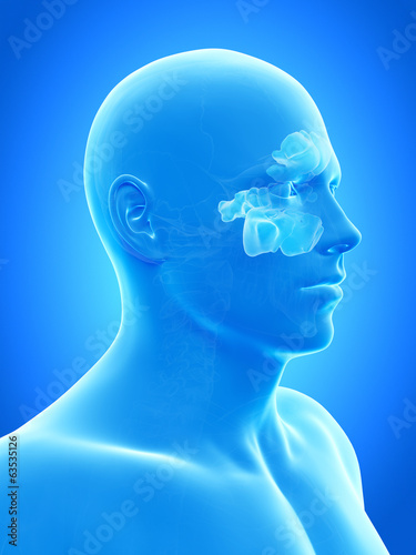 anatomy illustration showing the sinuses