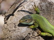 Eastern Green Lizard (male), Lacerta viridis
