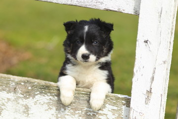 Border Collie Puppy With Paws on White Rustic Fence