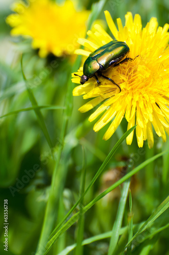 green beetle on yellow flower