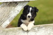 Постер, плакат: Border Collie Puppy With Paws on White Rustic Fence 2
