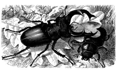 Lucane - Lucanus Cervus - Hirschkäfer