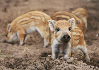 Young wild boar (Sus scrofa specie) in striped fur
