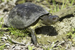The European pond terrapin  / Emys orbicularis