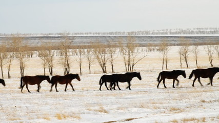 Horses on the winter pasture