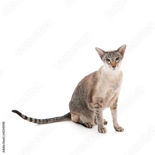 Seal tabby siamese cat