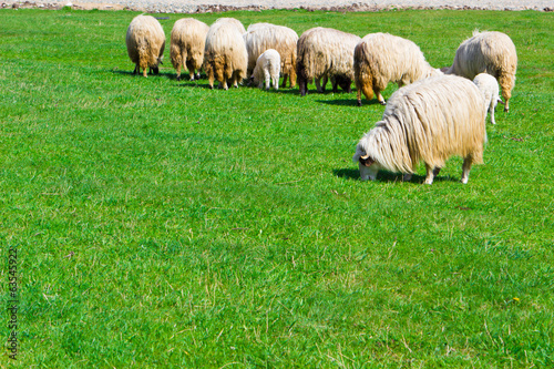 Several sheeps on field