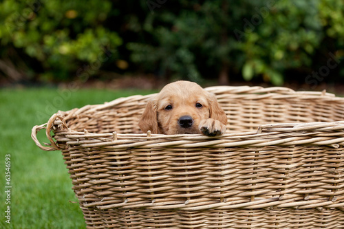 Golden retriever puppy in a wicker basket.