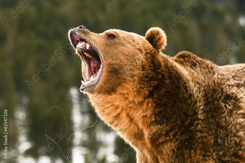 Foto Spatwand Dragen Grizzly Bear