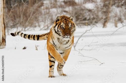 Papiers peints Tigre Jumping Tiger
