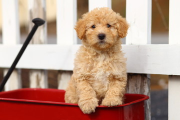 Poodle Mix Puppy Sitting on Red Wagon in Front of White Fence