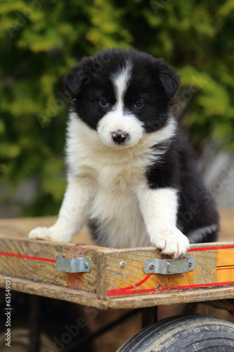 Border Collie Puppy Sitting on Wagon