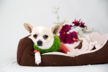 Small pedigree dogs