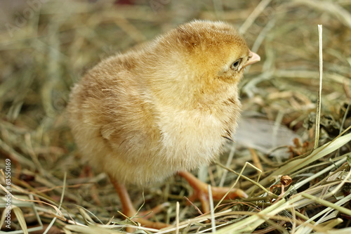 Image of day old chick, close-up