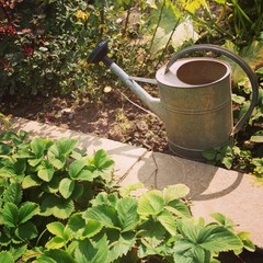 waterpot in strawberry bushes