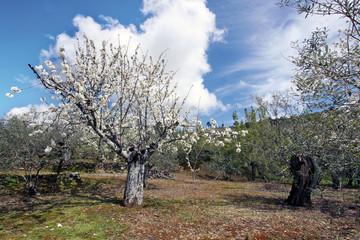 Cerezo en flor, Sauceda, Hurdes, España